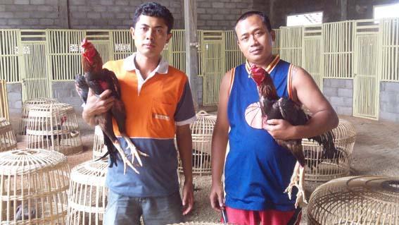 Cara Agar Bisa Sukses Ternak Ayam Bangkok Aduan