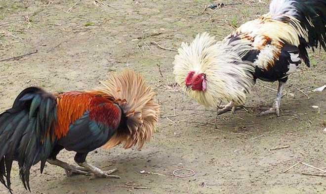 Ayam Birma Asli