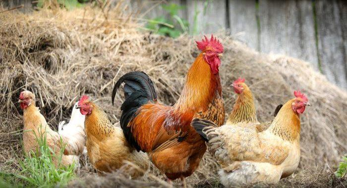 Ayam Yang Tidak Bisa Terbang