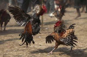 5 Jenis Ayam Petarung Yang Banyak Di Cari