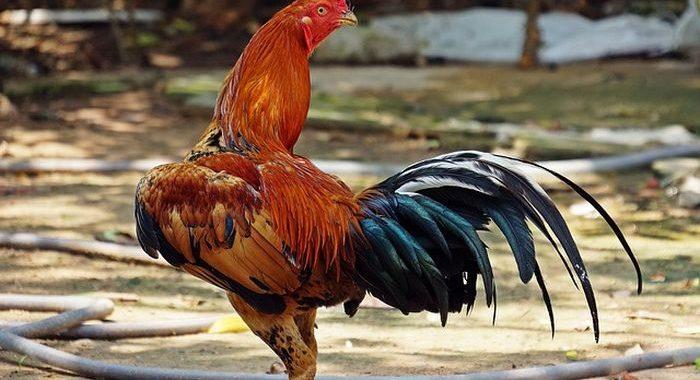 Cara Memperindah Bulu Ayam Bangkok Aduan Juara