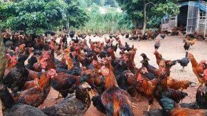 Cara Ternak Ayam Bangkok Aduan Berkualitas Super