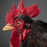 Jengger Ayam Aduan Yang Paling Banyak Diminati