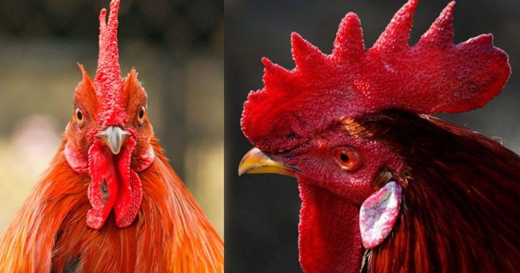 Jengger Ayam Bangkok Aduan Yang Banyak Di cari Bobotoh