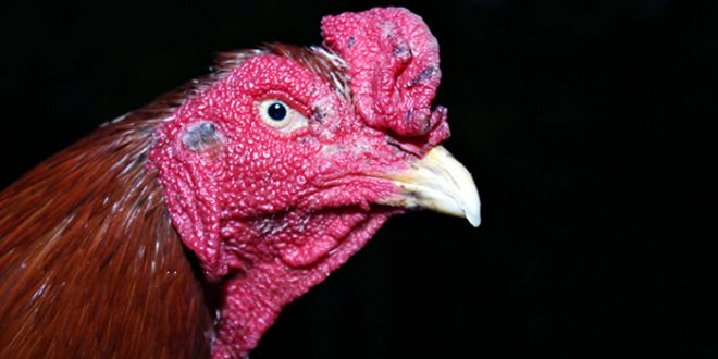 Mata Ayam Bangkok Aduan Yang Mematikan Lawan